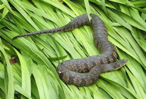 Garden Snake Oklahoma Diamondback Water Snake By Hankinstein On Deviantart