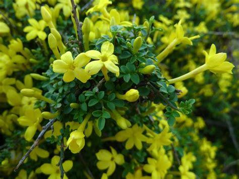 gelsomino giallo in vaso gelsomino giallo jasminum nudiflorum piante da