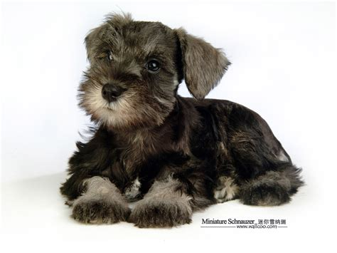 how to give a miniature schnauzer puppy a first haircut ehow 1600 1200 miniature schnauzer puppies photos mini