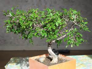 bonsai zelkova la fiche compl 232 te bonsai entretien