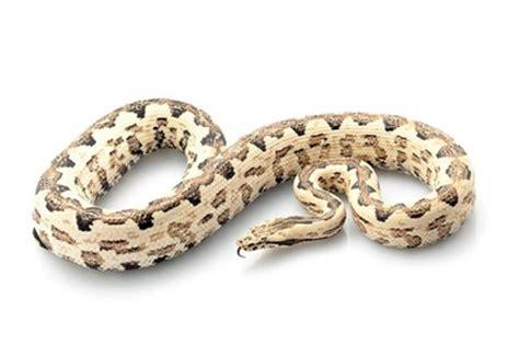solomon ground boa pensil reptile home