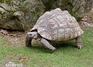 leopard tortoise pictures leopard tortoise images