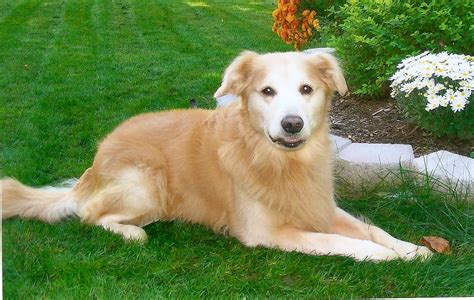 golden retriever rescue australia dogs available for adoption in california pets pets world