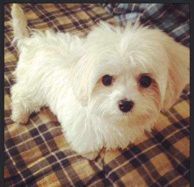 maltese yorkie puppy maltese yorkie puppy maltese