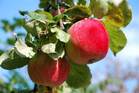 best time to plant fruit trees in michigan 4 easy fruit trees and plants reliable tree care salt