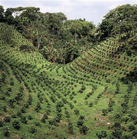 Colombia: coffee plantation in Colombia    Kids Encyclopedia   Children's Homework Help   Kids