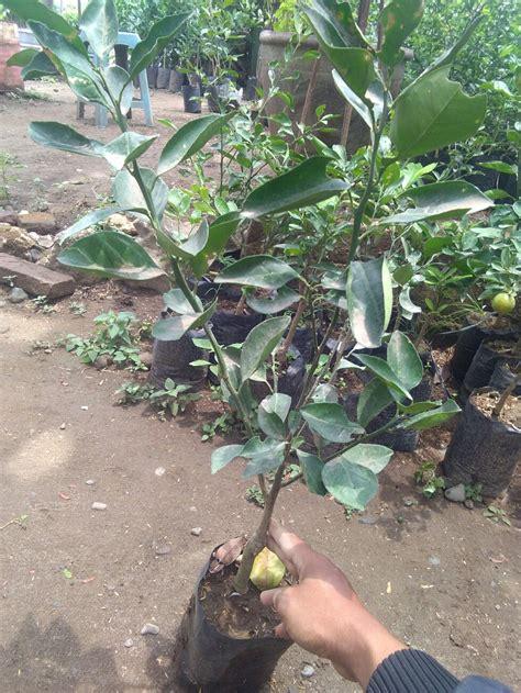 Bibit Buah Jeruk Santang tanaman buah jeruk santang daftar harga terlengkap indonesia