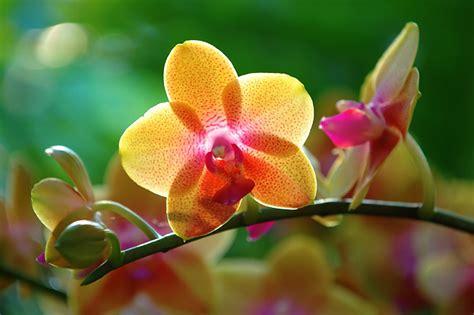 immagini fiori orchidee orchidee immagini fiori foto di fiori immagini di fiori