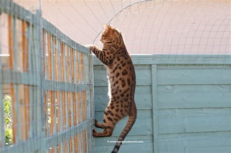 how to keep your cat in the backyard five ways to let your cat outside safely bengal cat world