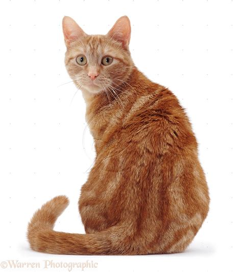 image gallery orange cat sitting