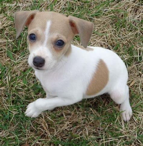 rat terrier puppy best 25 rat terrier puppies ideas on rat terriers rat terrier dogs and