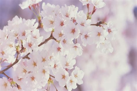 imagenes de rosas blancas para portada de facebook rama repleta de flores blancas 68433