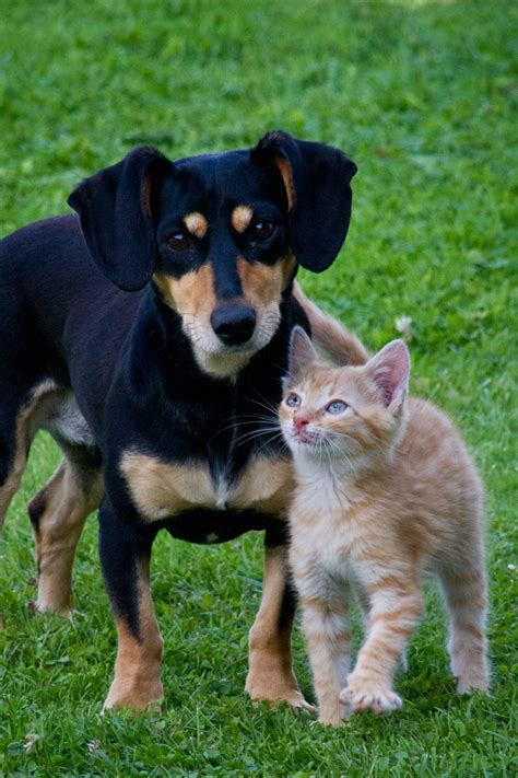 the about cats and dogs cat and free stock photo domain pictures