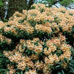 rhododendron winterfest machen garten rhododendron bernstein kaufen bei g 228 rtner p 246 tschke
