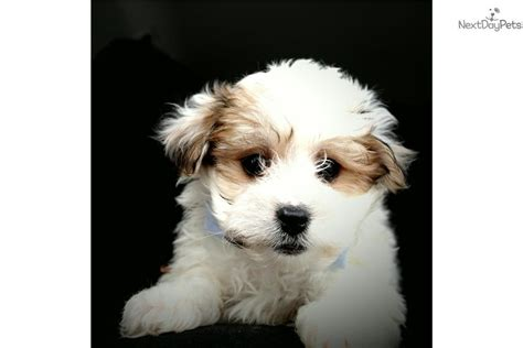 bichon frise puppies for sale in michigan bolognese puppies for sale in michigan breeds picture