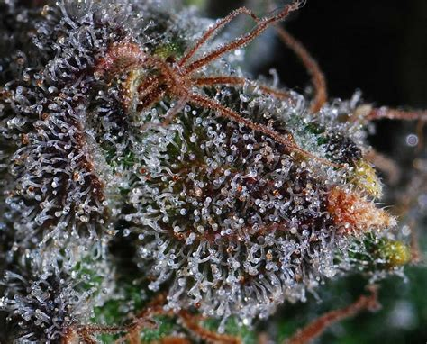 marijuana trichomes cannabis trichomes what you need to know grow weed easy