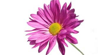 Home Design 3d Steam pink daisy 1080p wallpapers in jpg format for free download