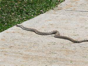 Garden Snake Nebraska Snake I Think This Is A Bull Snake Or A Gopher Snake