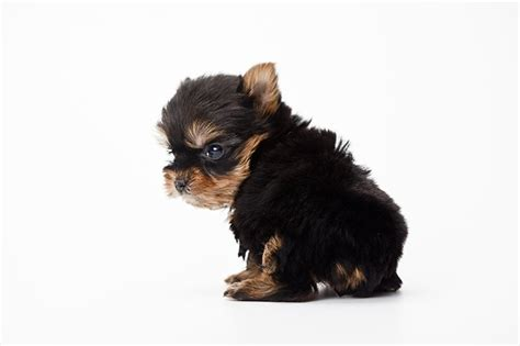what do yorkies like to do for yorkie puppies dogtime