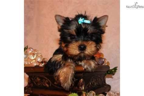 yorkies for sale near me terrier yorkie puppy for sale near los angeles california e7805a38 83b1