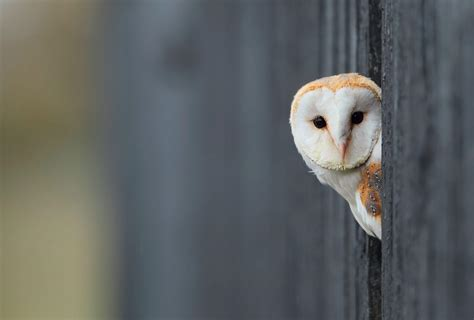 wallpaper black owl white owl wallpapers wallpaper cave
