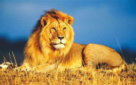 imagenes de leones rugientes 191 d 243 nde vive el le 243 n