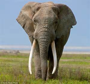 elephant ivory kenya s president orders elephant ivory burning in nairobi