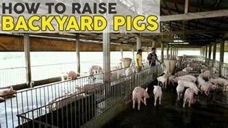 how to raise pigs atlas feeds backyard farms youtube