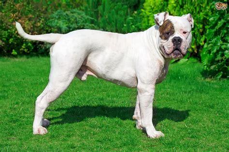 American Bulldog Shedding by American Bulldog Breed Information Buying Advice