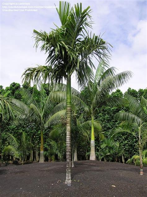 areca palm plantfiles pictures areca palm areca hutchinsoniana by