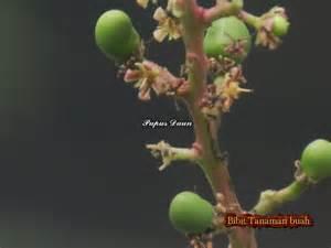 Bibit Mangga Irwin Hawai mangga kiojay bibit tanaman buah