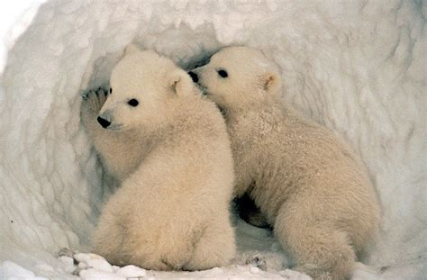 Two Polar Bears In A Bathtub by Ijsbeer