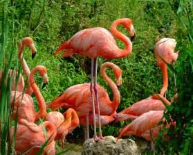 pink flamingos flamingo the life of animals