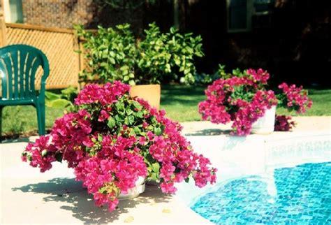 Pupuk Untuk Bunga Agar Subur cara merawat bunga bougenville agar berbunga lebat