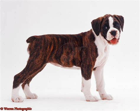 brindle boxer dogs brindle boxer puppies