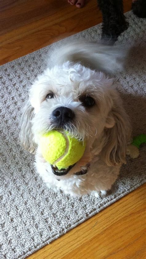 can a shih tzu walk 3 17 things all shih tzu owners must never forget