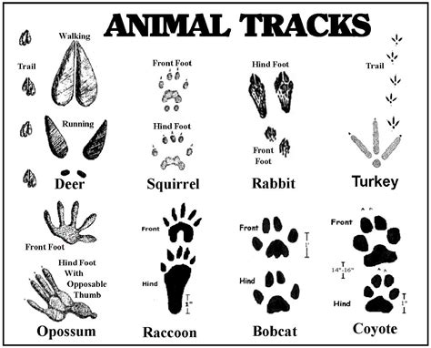 printable animal tracks identification 92 ideas printable animal tracks on spectaxmas download