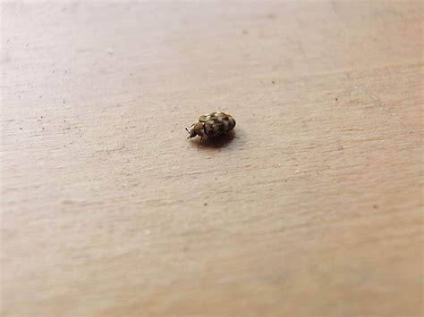 carpet beetles in bathroom black carpet beetles in bathroom carpet vidalondon