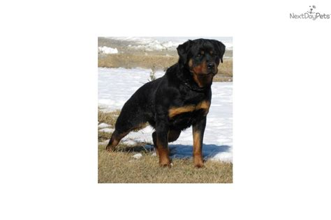 rottweiler puppies for sale in iowa puppies for sale from arduser rottweiler iowa 515 689 9091 member since october 2008