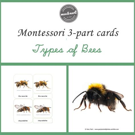 Montessori 3 Part Cards Template by Montessori Printables Types Of Bees Montessori