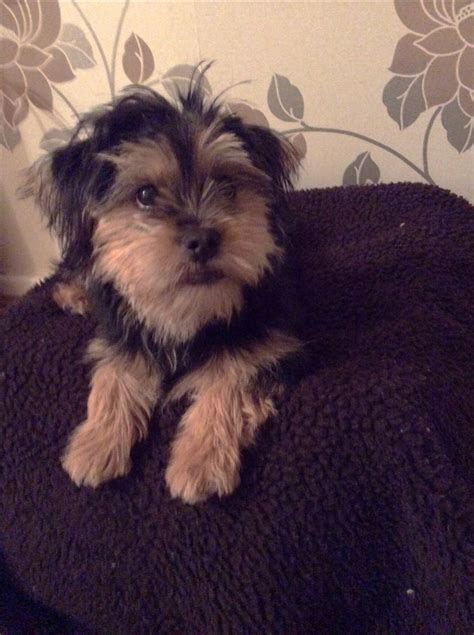 shih tzu terrier mix info adorable shorkie yorshire terrier mix shih tzu hyde greater manchester pets4homes