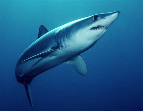 Mako Templating by Shark Jeopardy Jeopardy Template