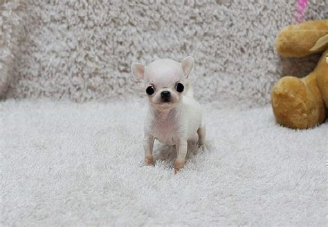 micro tiny chihuahua puppies for sale teacup chihuahua puppies tiny teacup chihuahua puppies available for sale south