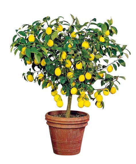 pianta limone in vaso acquista pianta di limone bakker