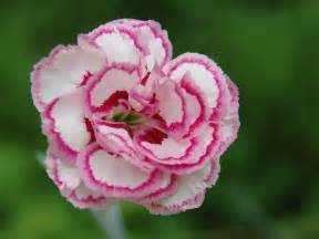 carnation flowers for flower lovers carnation flowers wallpapers