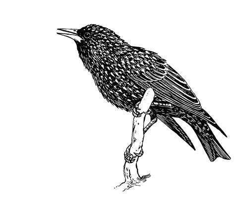clipart illustrations bird starling illustration clipart free stock photo