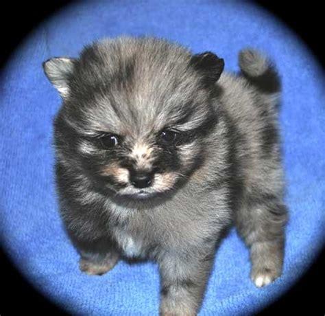 pomeranian puppies wiki merle pomeranains dees pomeranians newhairstylesformen2014