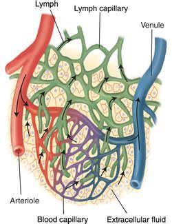 capillary bed definition capillary blood vessel definition of capillary blood