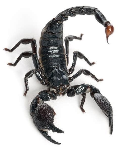 264 best images about scorpions on pinterest glow
