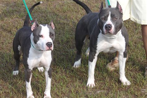 american staffordshire terrier puppies for adoption american staffordshire terrier puppies rescue pictures information temperament